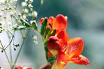 Vermillion Freesias and Gypsophilia by GeaAusten