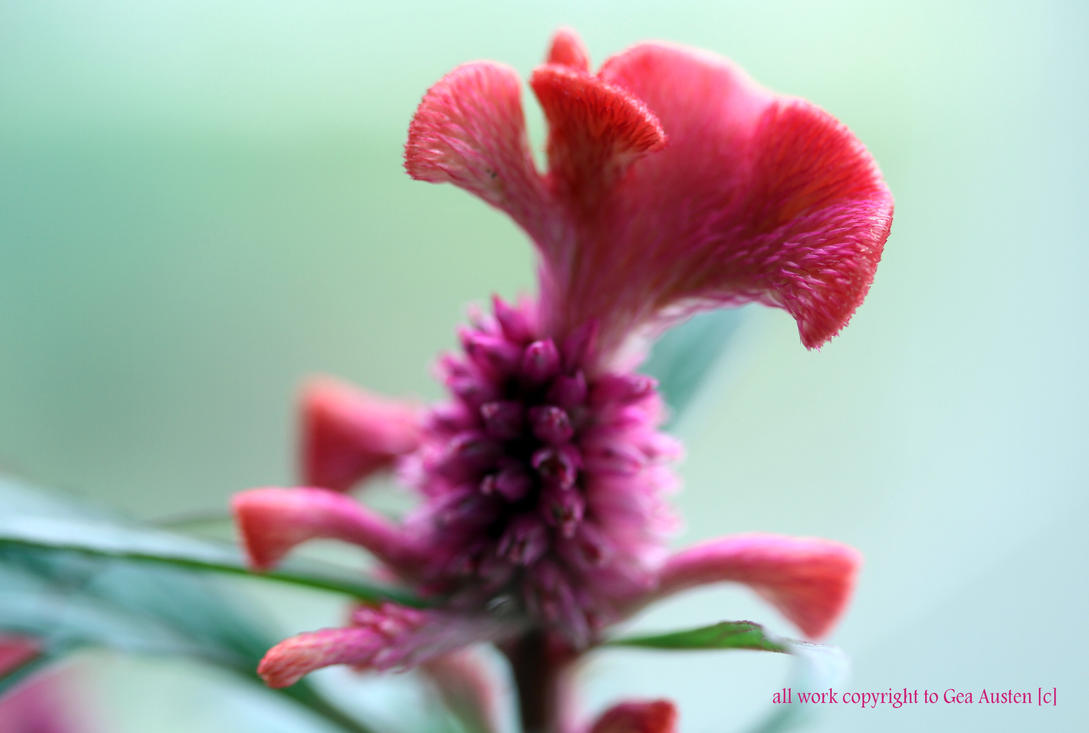 red burnt Celosia cristata by GeaAusten