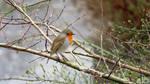 Sweet Robin by GeaAusten