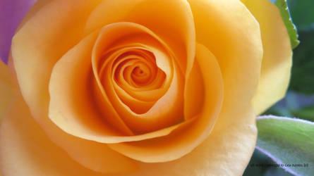 Yellow Rose by GeaAusten