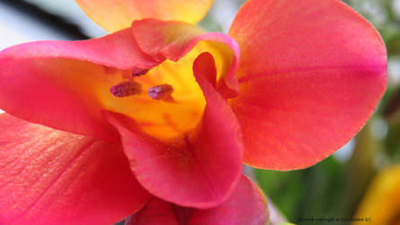 Freesia today by GeaAusten