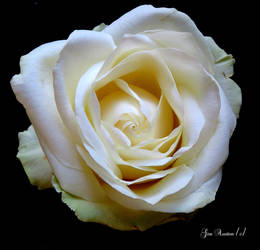 single white rose by GeaAusten
