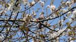 Wood Pigeon in Cherry tree by GeaAusten