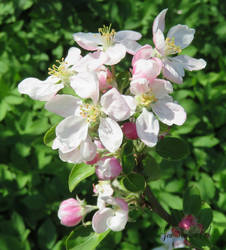 Blossom apple by GeaAusten