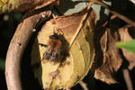 Young Tawny Miner Bee on old leaf by GeaAusten