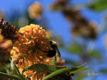 Bee with very blue sky by GeaAusten