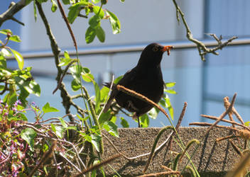 Blackbird with a worm by GeaAusten