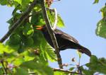 Blackbird Singing by GeaAusten