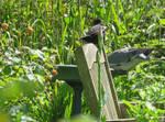 Blackbird  Wood Pigeon and Iris by GeaAusten