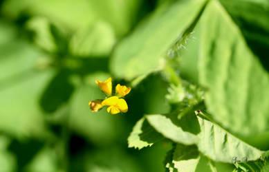 flowering clover by GeaAusten