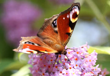 Peacock Butterfly on Buddleia by GeaAusten