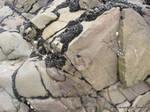 Boulder with shells.North Devon