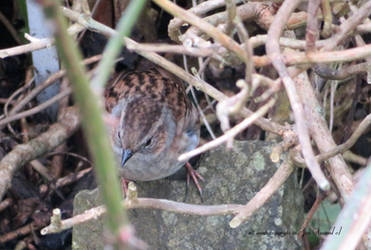 Sparrow in amongst branches