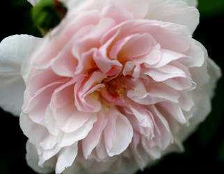 Soft Rose by GeaAusten