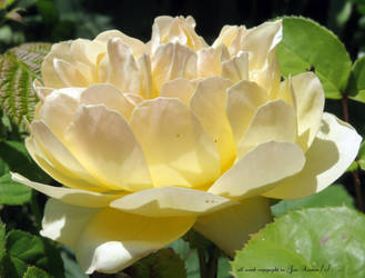 Lovely yellow rose by GeaAusten