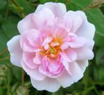Pauls Himalayan musk .Single rose .May 25th