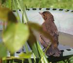 Young Blackbird. by GeaAusten