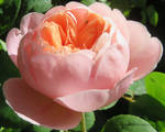 Madame Pierre Oger.Perfect rose by GeaAusten