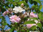 Pink Roses.Blue Sky by GeaAusten