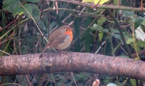 little round robin