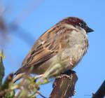 Spring Sparrow by GeaAusten