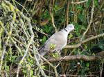 Eurasian Collared Dove by GeaAusten