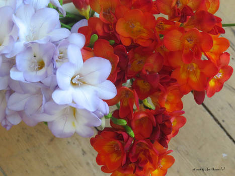 An abundance of Freesias