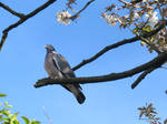 Wood pigeon in cherry Blossom tree