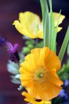 Yellow and Orange Welsh poppies