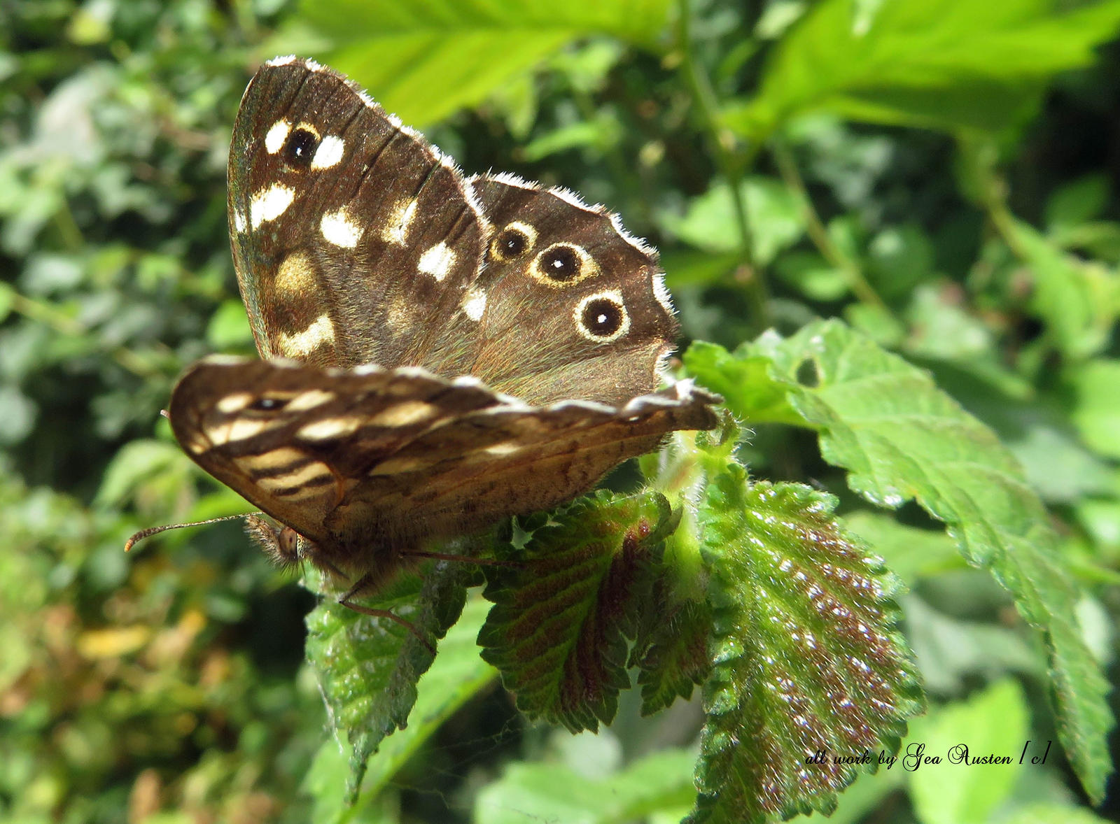 Speckled Wood  Butterfly.Pararge aegeria  Northam