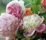 Peonies , Rose and Honeysuckle by GeaAusten