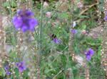 Bilberry bumblebee (Bombus monticola). wildflowers