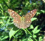 Speckled Wood Butterfly.Parargeaegeria   10/08/21