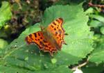 Beautiful Comma Butterfly by GeaAusten