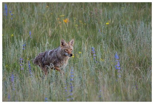 Coyote In The Meadow