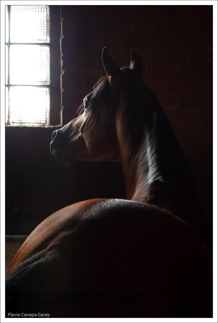 Arabian Horse 1 by ExcidiumGT