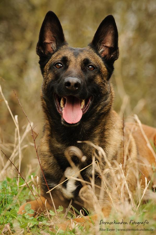 Belgian Shepherd by unfrozenduck