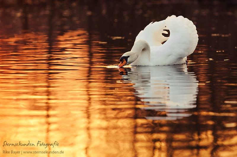 Swan by unfrozenduck