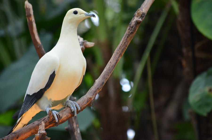 Image result for imperial pigeon pic