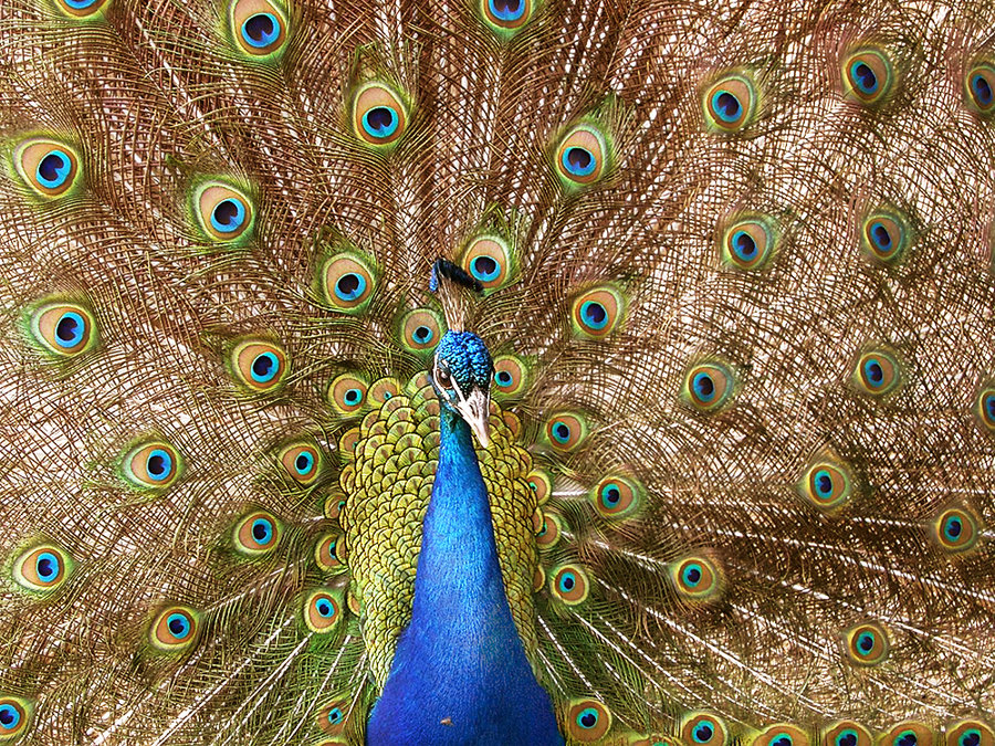 Peacock by crystalqueen14