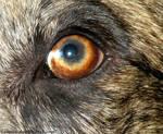 Partial Heterochromia, Canine