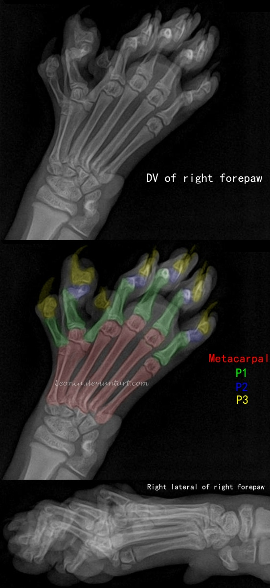 Anatomy of Polydactyly in Cat by Leonca on DeviantArt