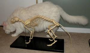 Feline Skeletal Comparison