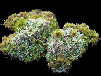 Moss and Lichen by BumwardoImortal