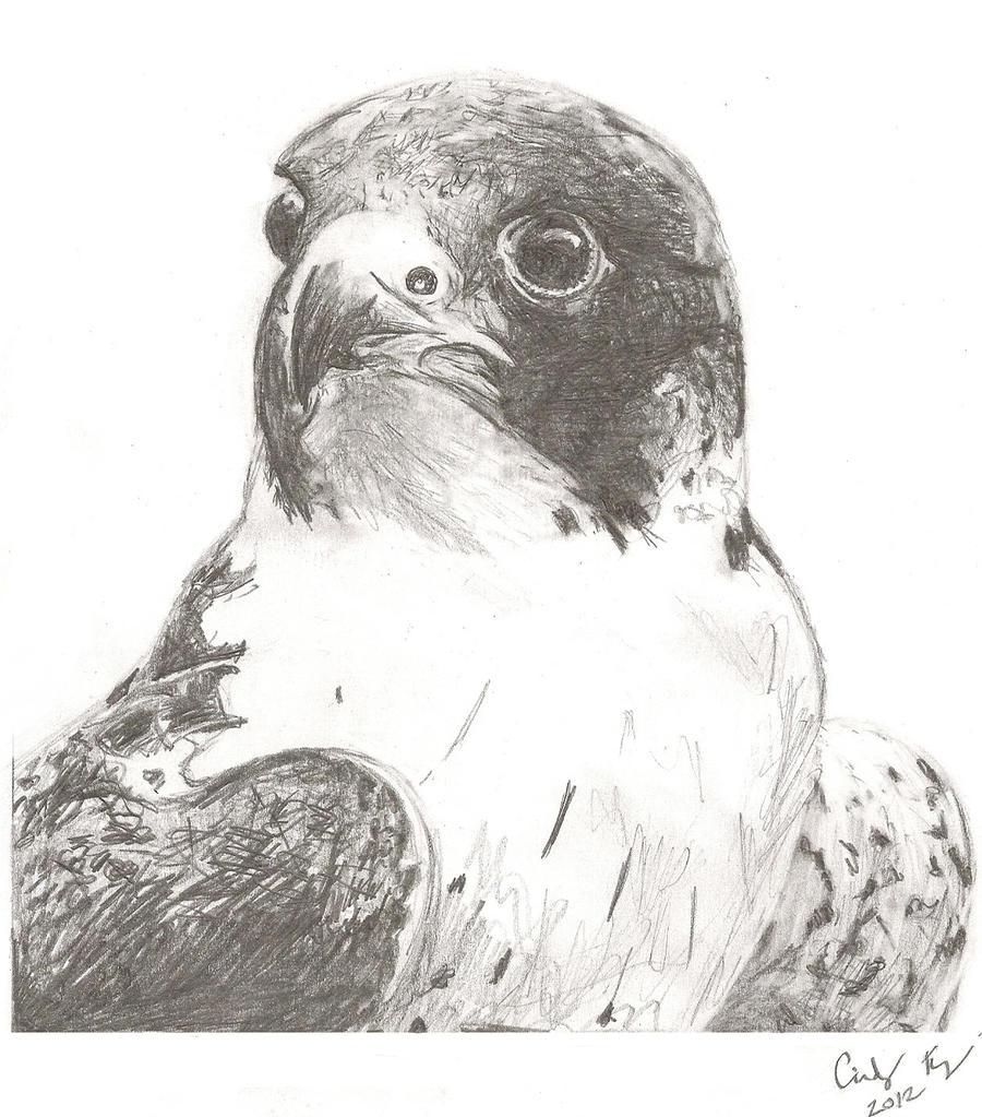 Peregrine Falcon Sketch Peregrine Falcon by Lost