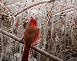 Cardinal in the Ice