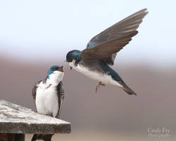 Tree swallows by lost-nomad07