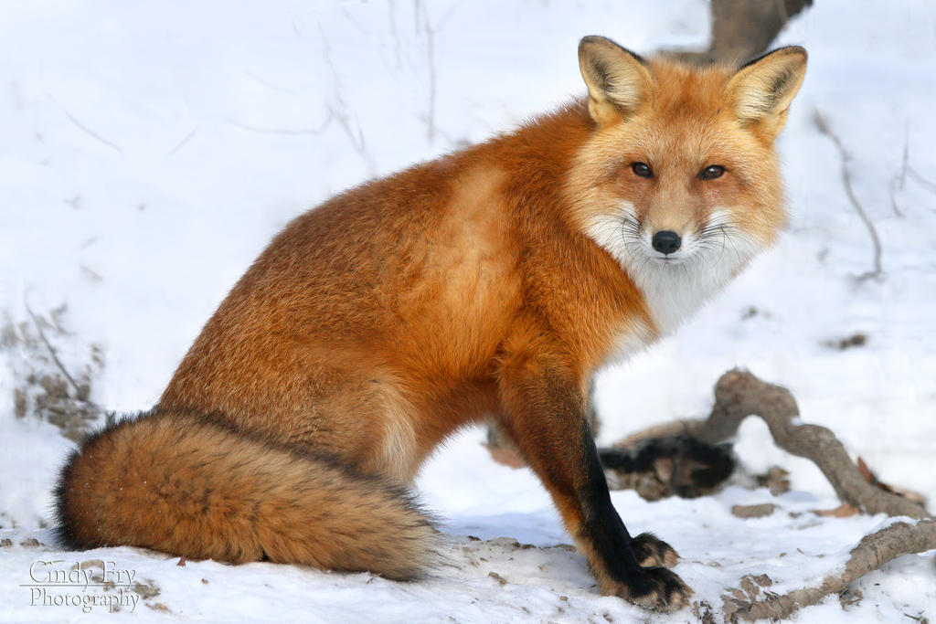 Red Fox By Lost Nomad07 On DeviantArt