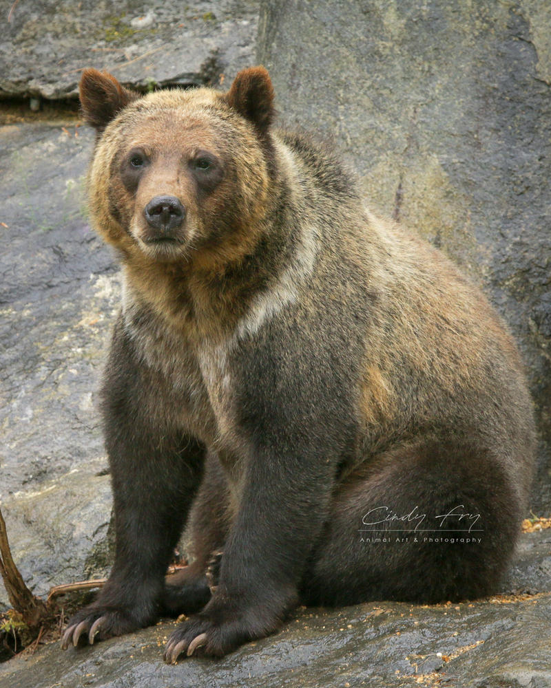 Brown Bear by lost-nomad07
