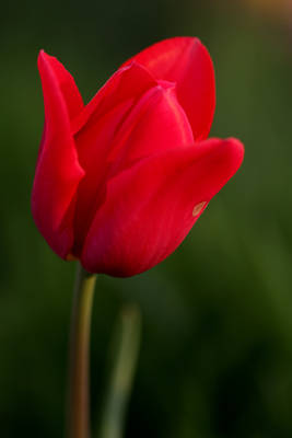 flower of the day #52 tulip